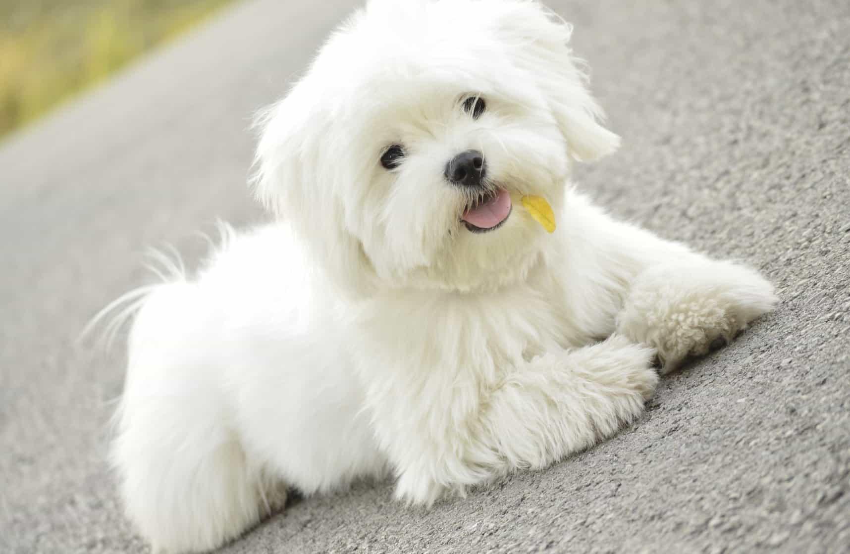 Maltese là giống chó nhỏ màu trắng