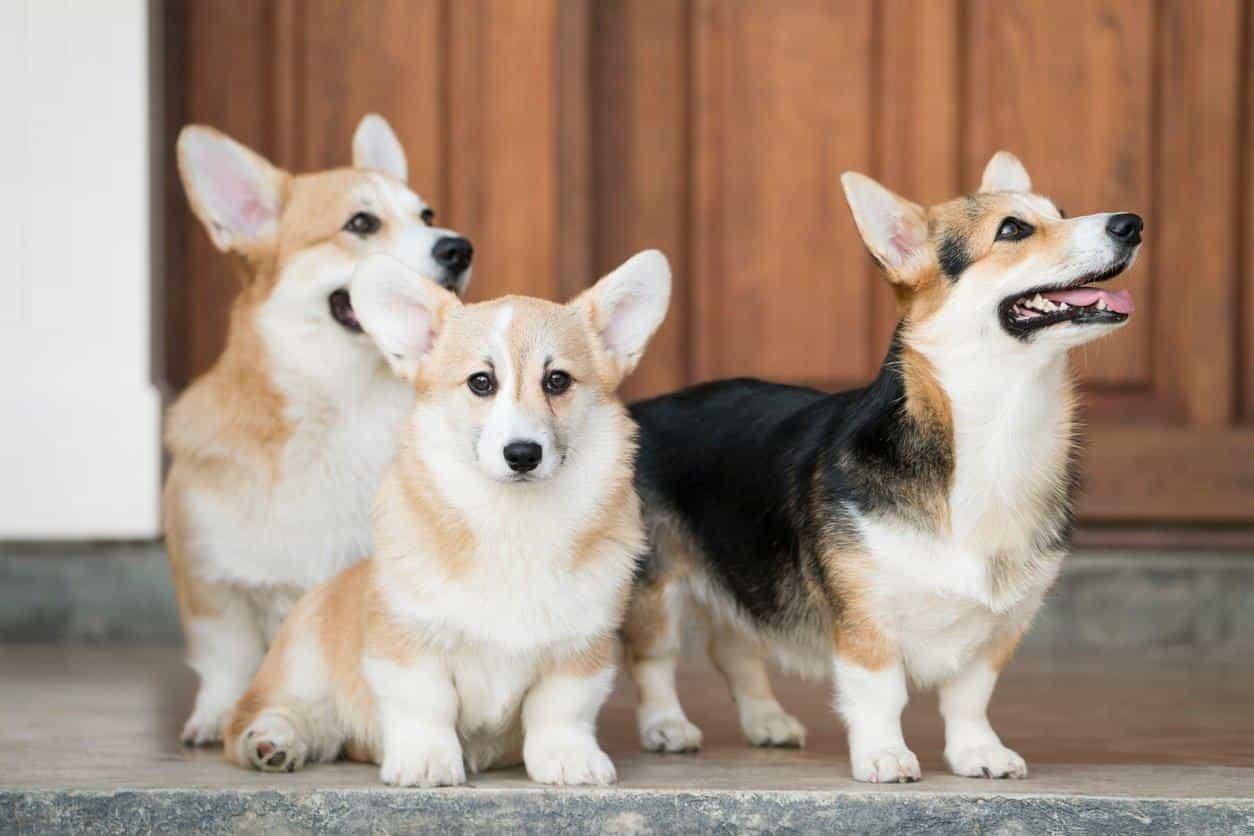 Màu lông chó Corgi khá đa dạng