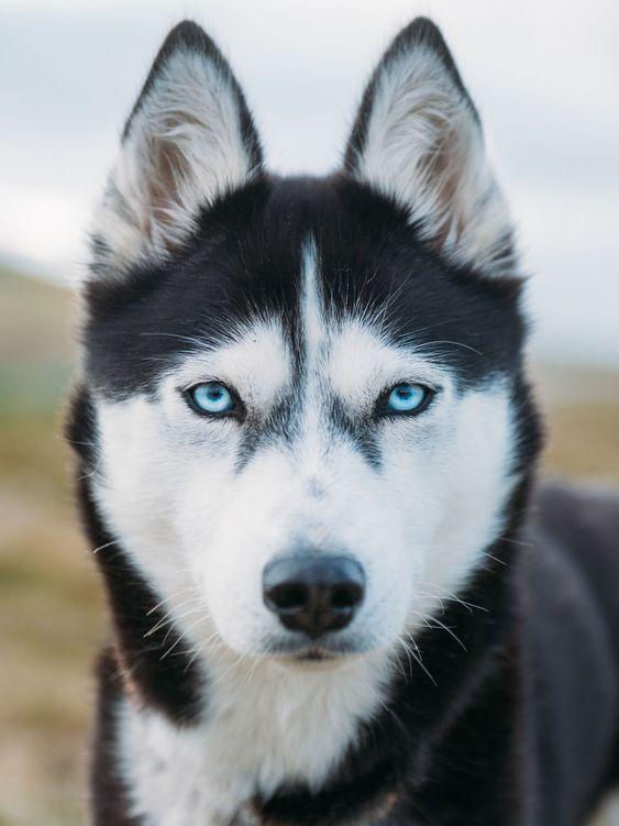 Màu mắt cũng là yếu tố quyết định giá chó Husky