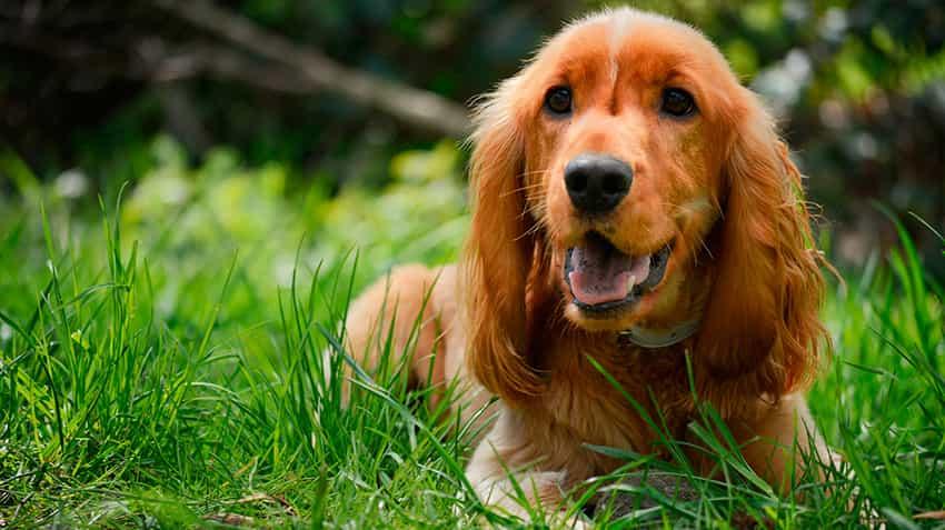 Một chú chó cocker màu nâu cam