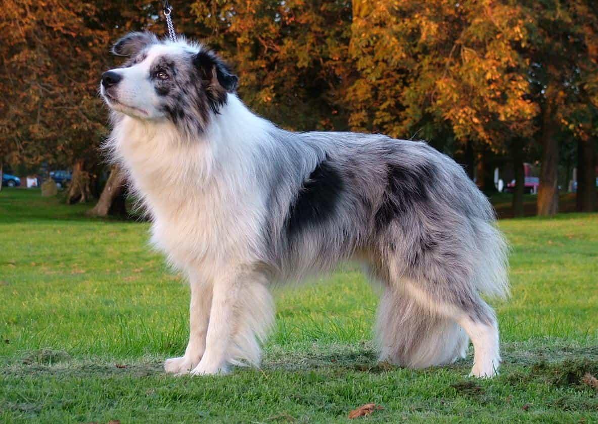Một chú chó Collie có màu khá độc