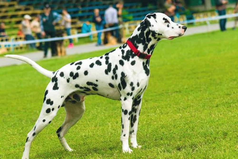 Một chú chó Đốm đạt chuẩn