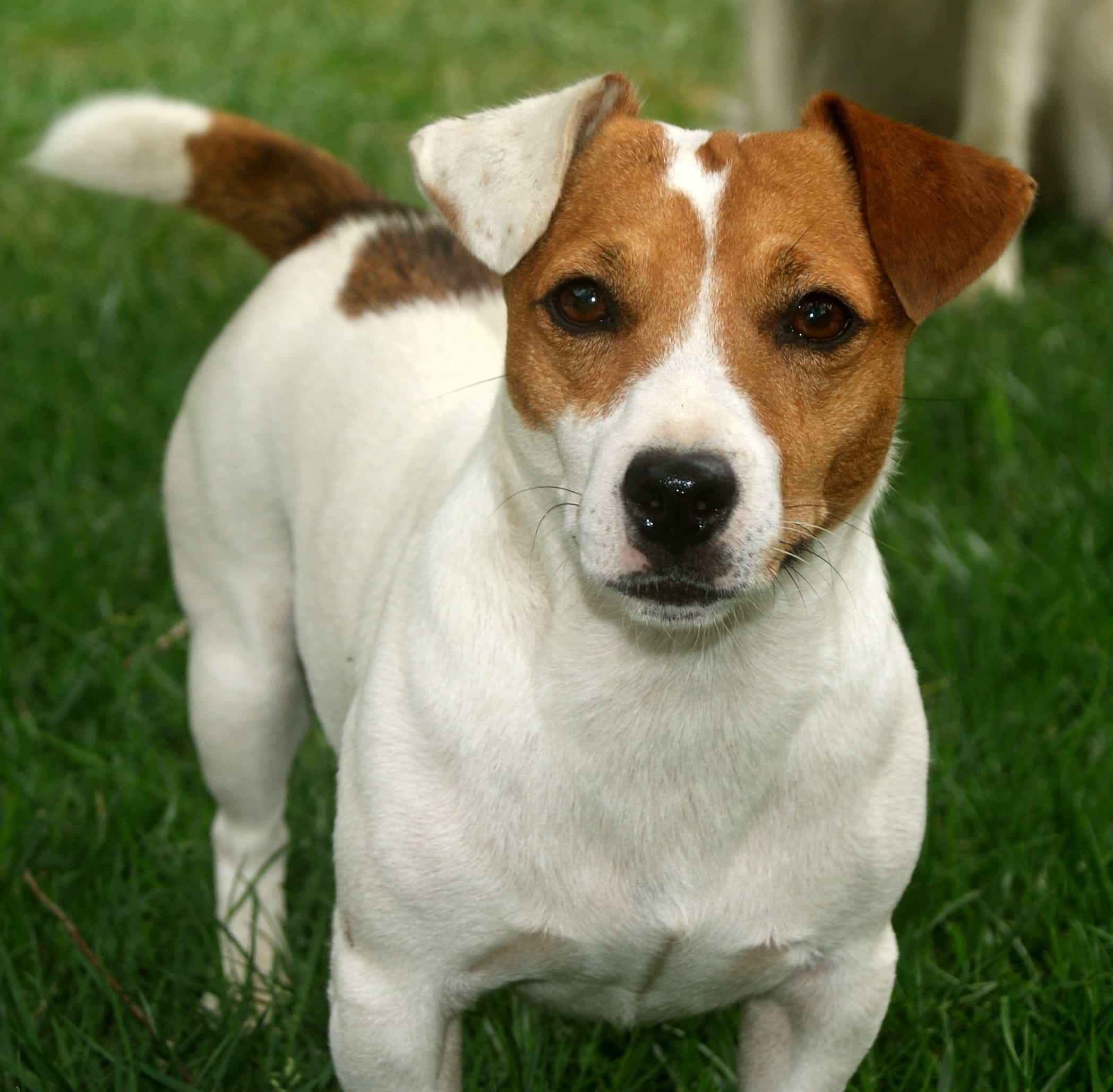 Một chú chó Jack Russell Terier chính hiệu