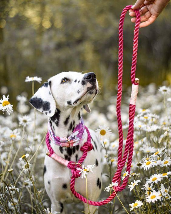 Một em chó Đốm đạt chuẩn