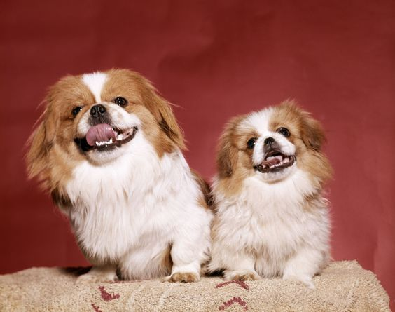 Mua bán chó Bắc Kinh tại Siêu Pet