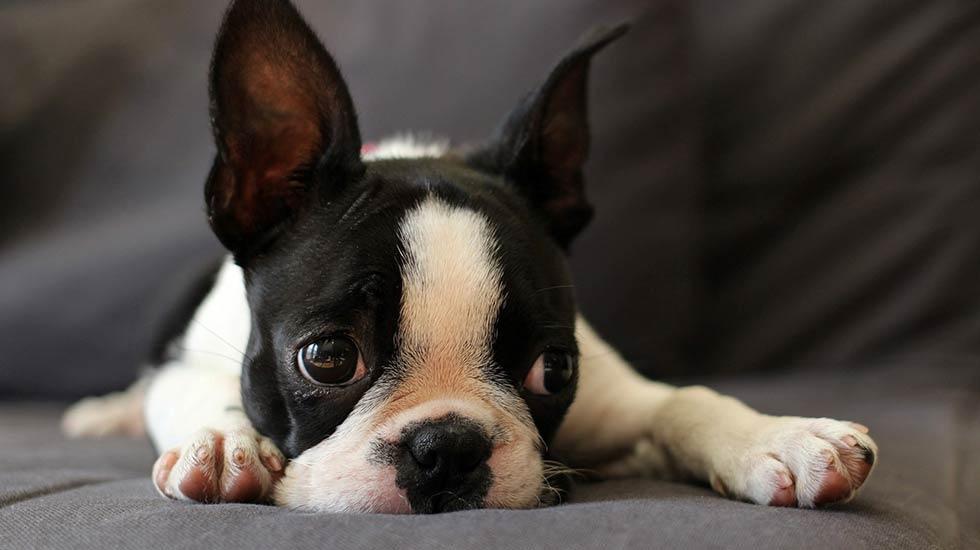 Mua bán chó Boston uy tín tại Việt nam
