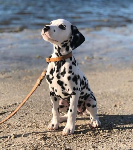 Mua bán chó Đốm tại Siêu Pet
