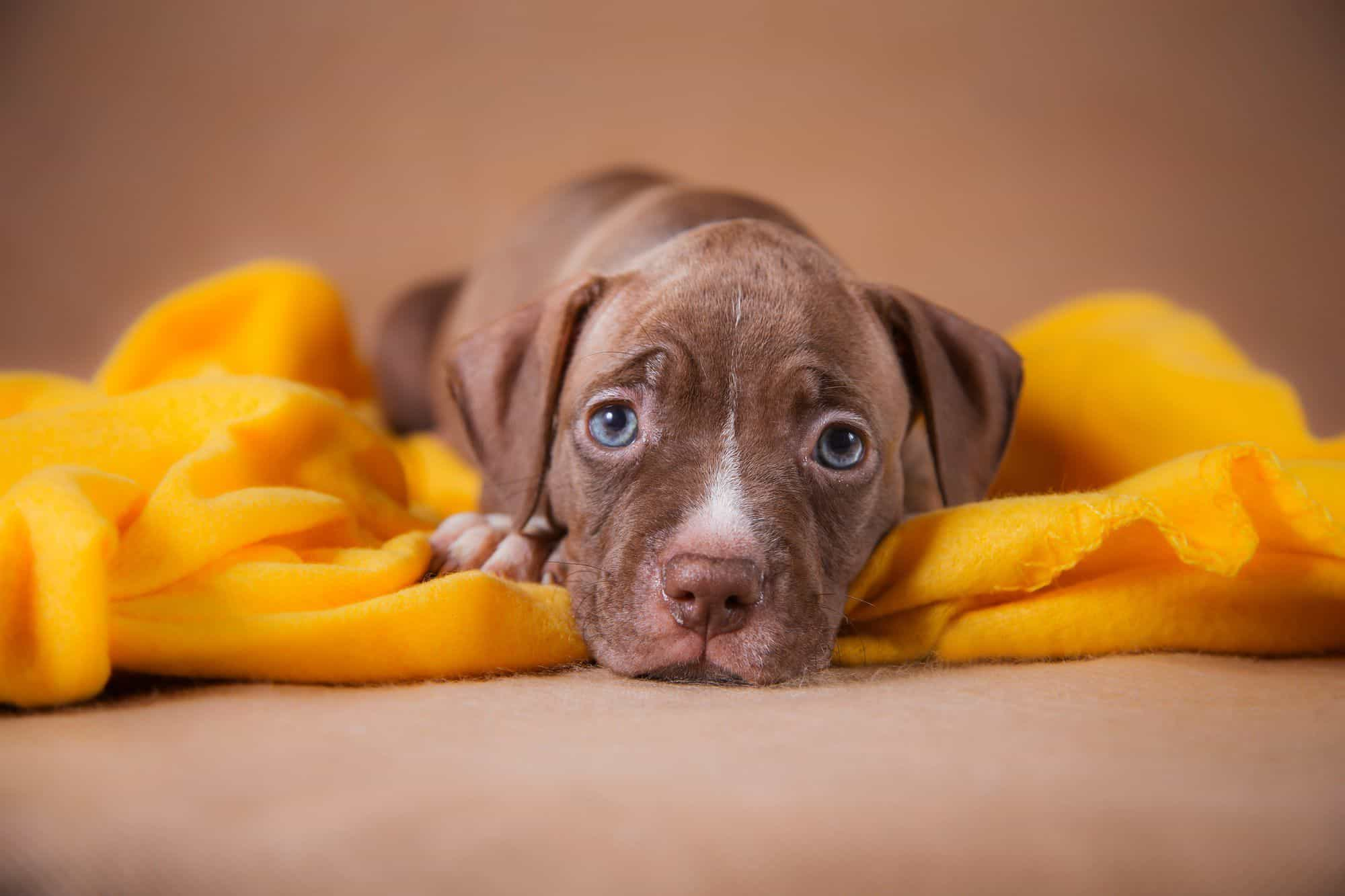 Mua bán chó Pitbull thuần chủng ở địa chỉ nào uy tín?