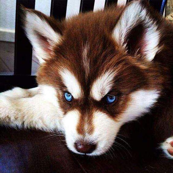 Mua bán Husky thuần chủng tại Siêu Pet