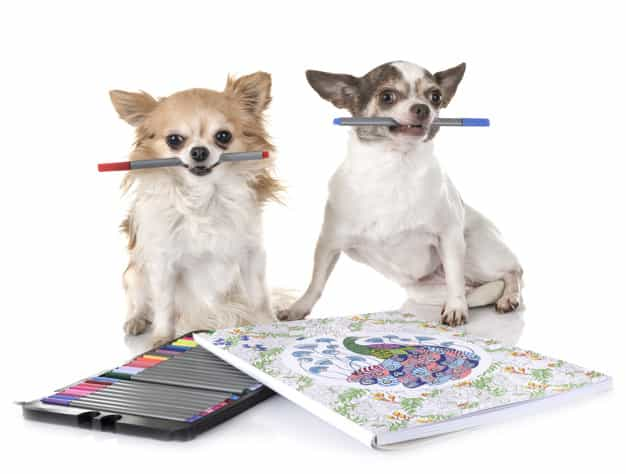 Mua chó Chihuahua mini