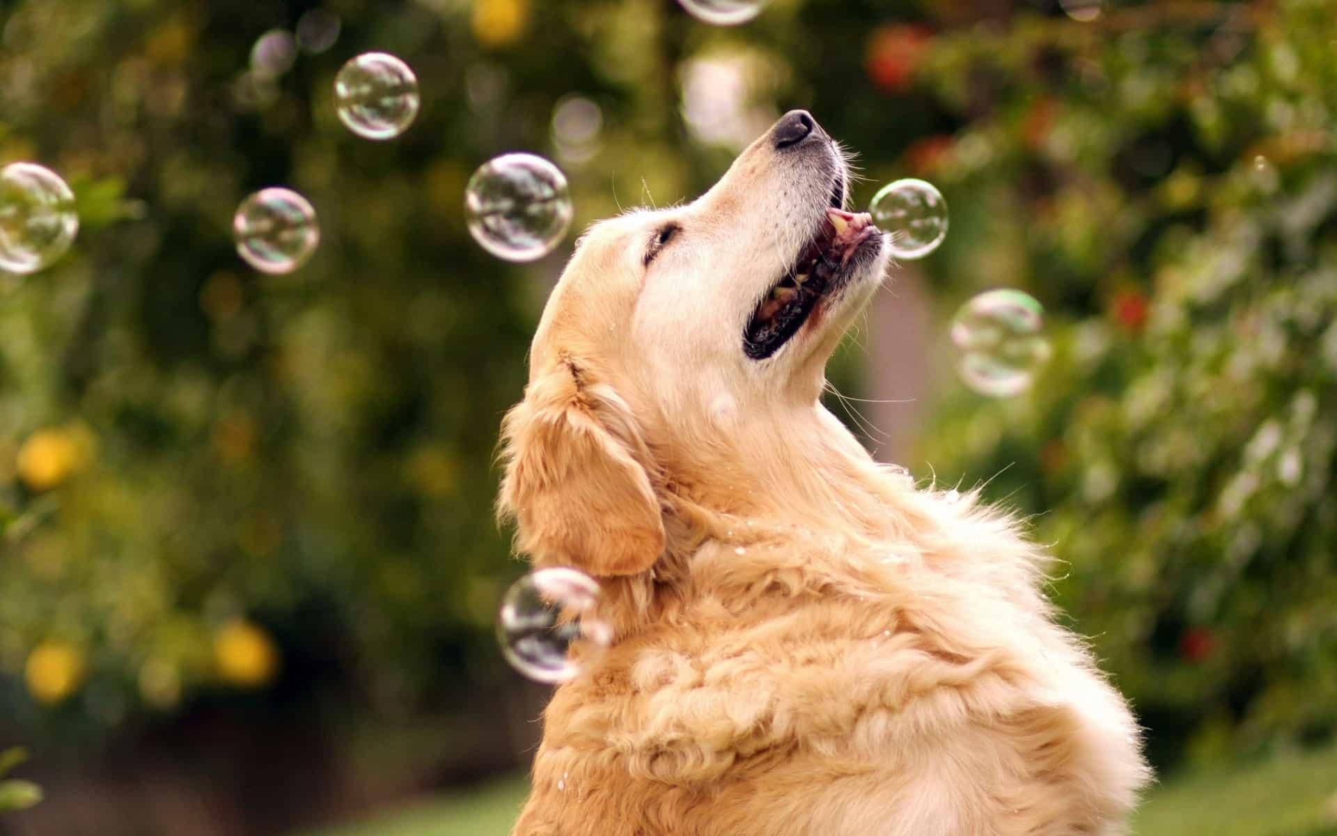 mua chó golden retriever ở hà nội