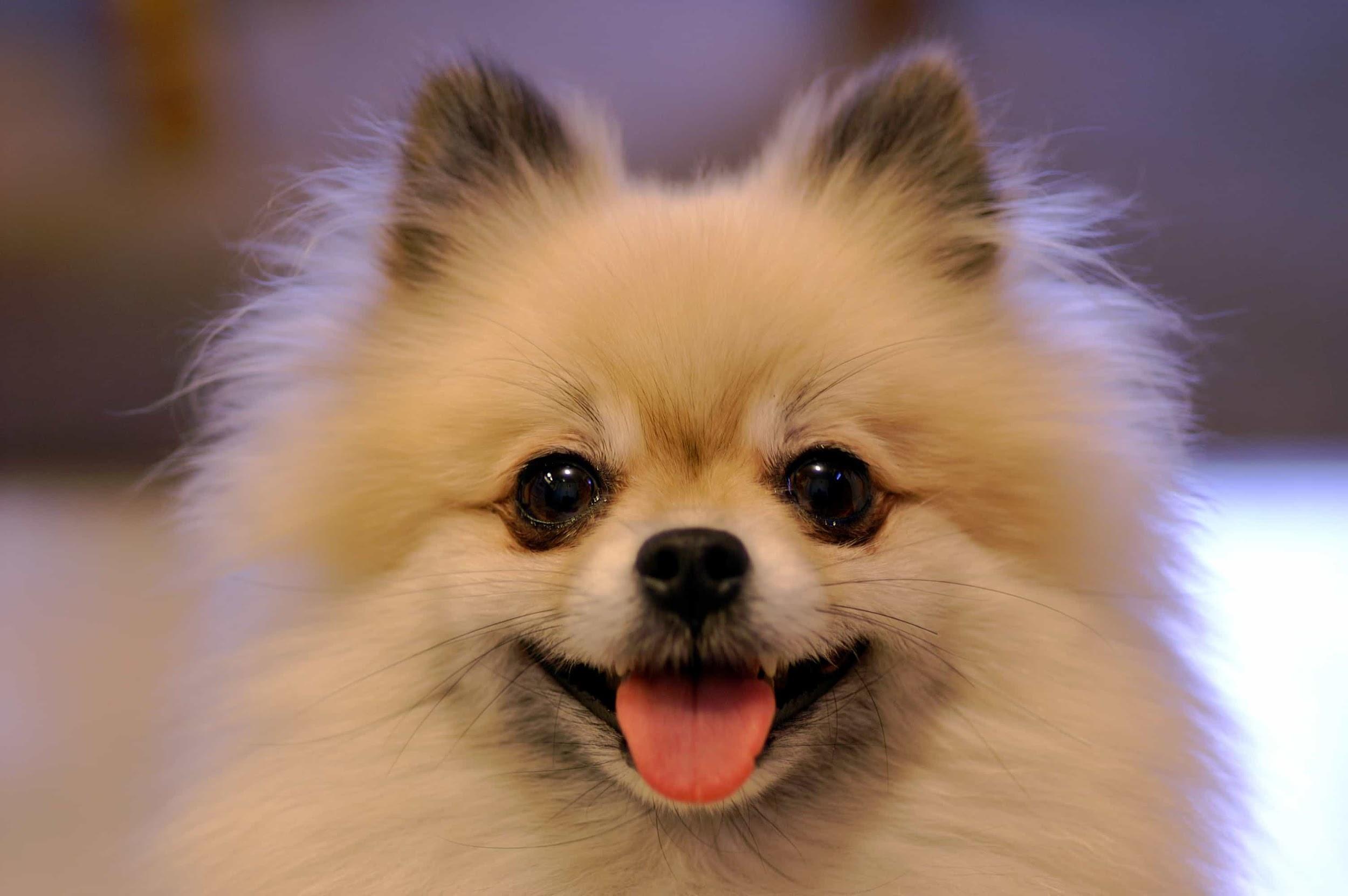 Mua chó tại Sieupet.com