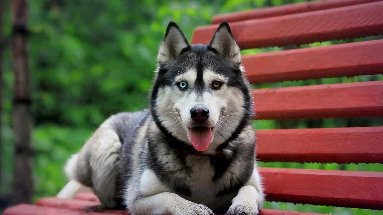 Nên cẩn thận trong việc nhận biết chó Husky thuần chủng