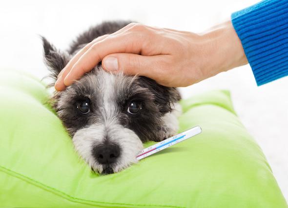 nên chú ý tăng cường hệ miễn dịch khi chó bị sốt
