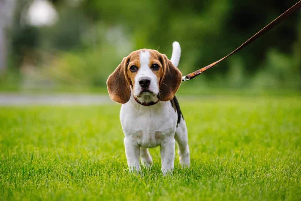 Nguồn gốc chó Beagle