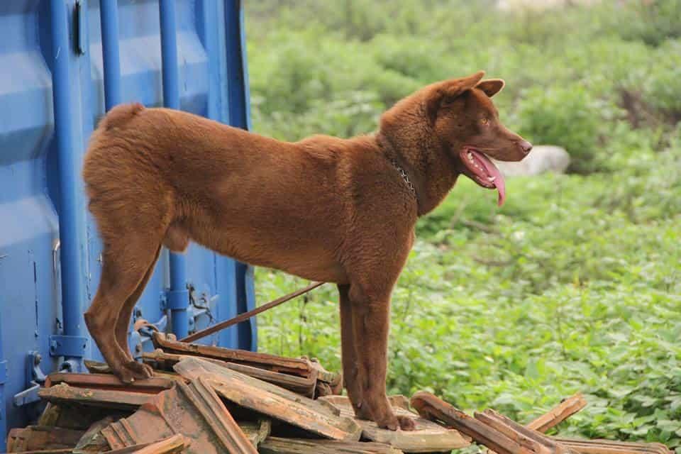 Nguồn gốc của chó Mông Cộc