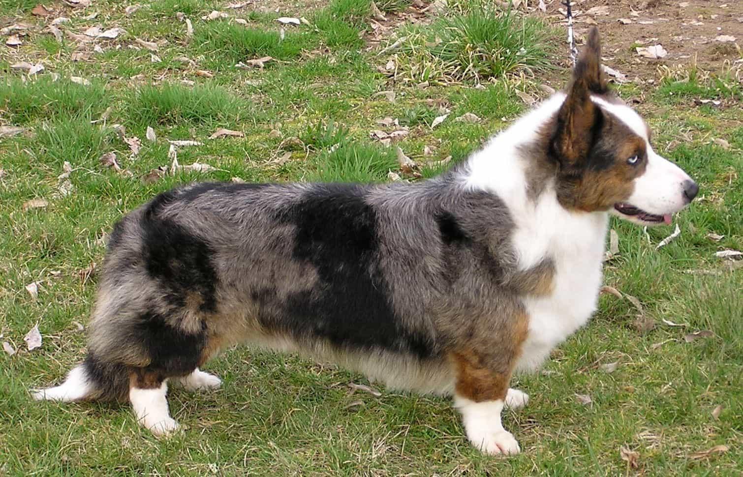 Nguồn gốc xuất xứ của chó Cardigan Corgi