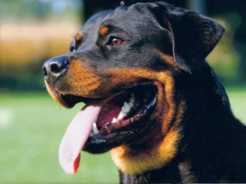 Nhận biết chó Rottweiler thuần chủng