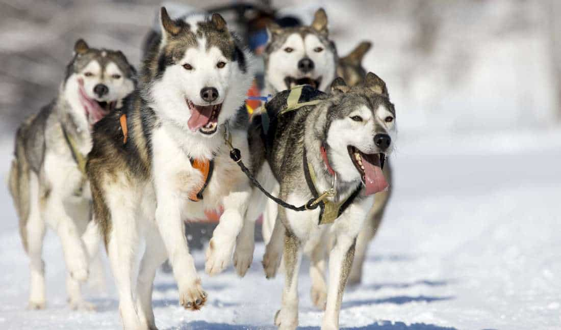Những lưu ý khi nuôi chó Husky