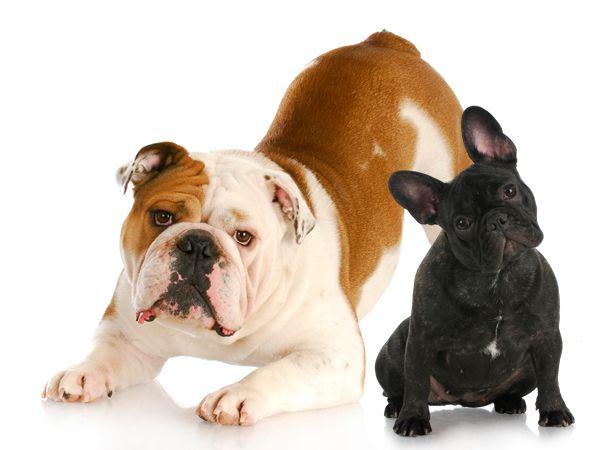 Phân biệt chó bull Anh và chó bull Pháp