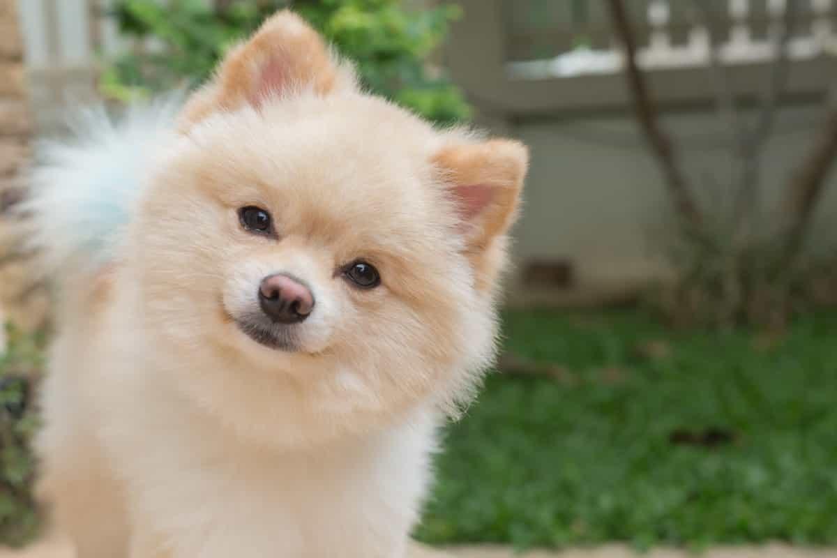 Pomeranian màu kem
