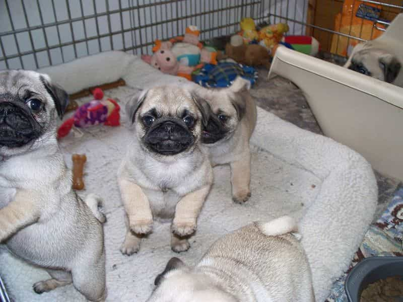 Quan sát kỹ chó Pug trước khi mua