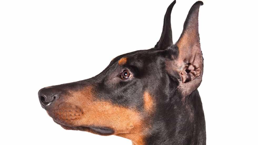 Quy trình cắt tai và tạo hình tai cho chó Doberman