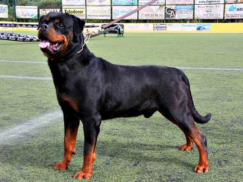 Rottweiler to
