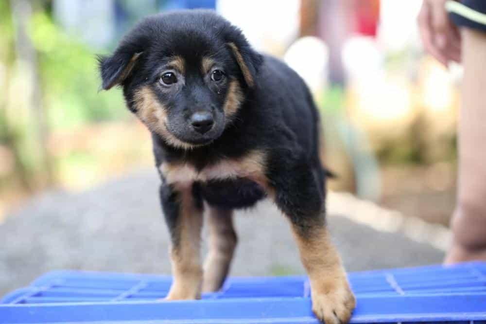 Rottweiler và Becgie là hai giống chó được thường xuyên chọn để lai với nhau