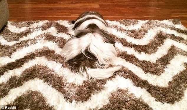 rụng lông và ngứa ở chó có nhiều nguyên nhân