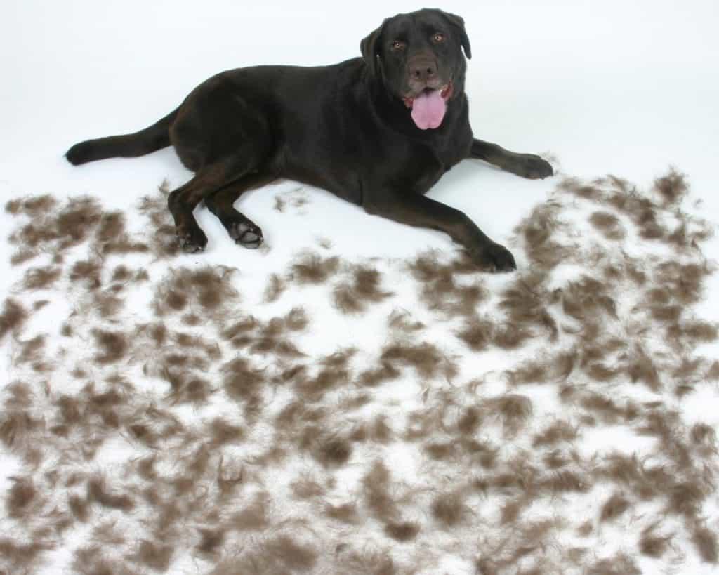 rụng lông và ngứa ở chó