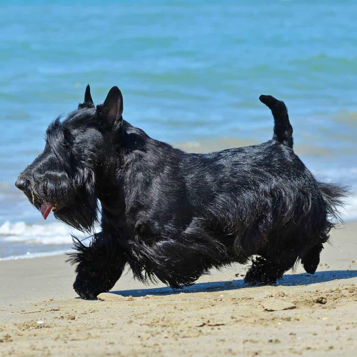 Scottish Terrier chân ngắn nhưng dũng cảm