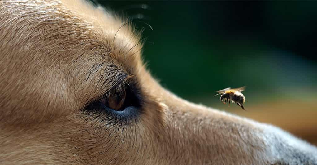 sự hiếu động là nguyên nhân thường khiến chó bị ong đốt