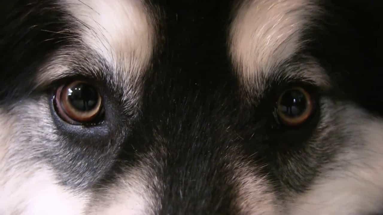Tất cả những màu mắt khác đều bị coi là không thuần chủng