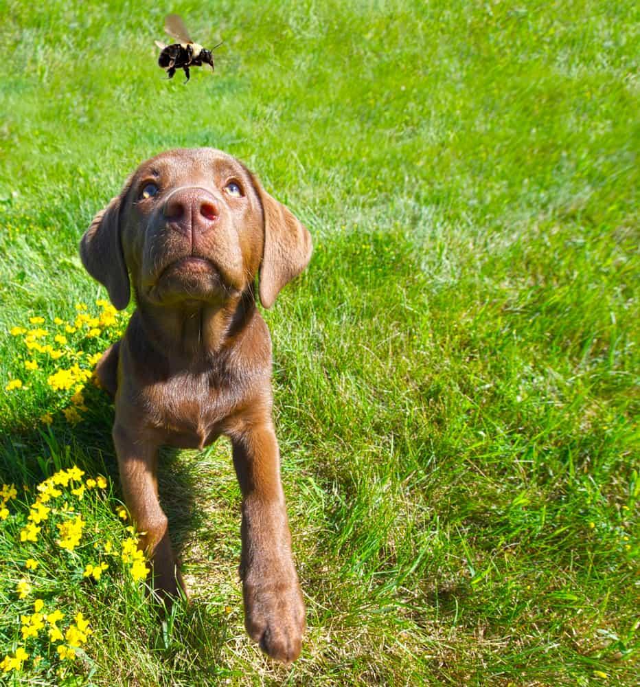 thời tiết nắng nóng cũng có thể ảnh hưởng đến tình trạng của chó bị ong đốt