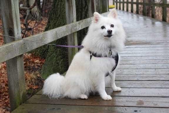 Thông tin về giống chó Eskimo Mỹ