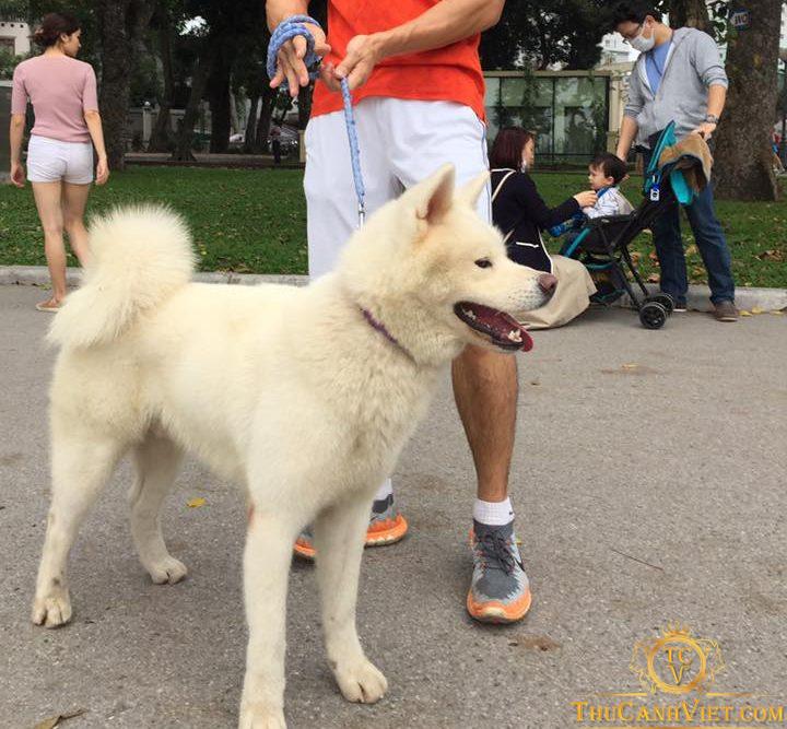 Thú chơi thú cưng - theo chân chú Chó akita inu màu trắng đi dạo phố