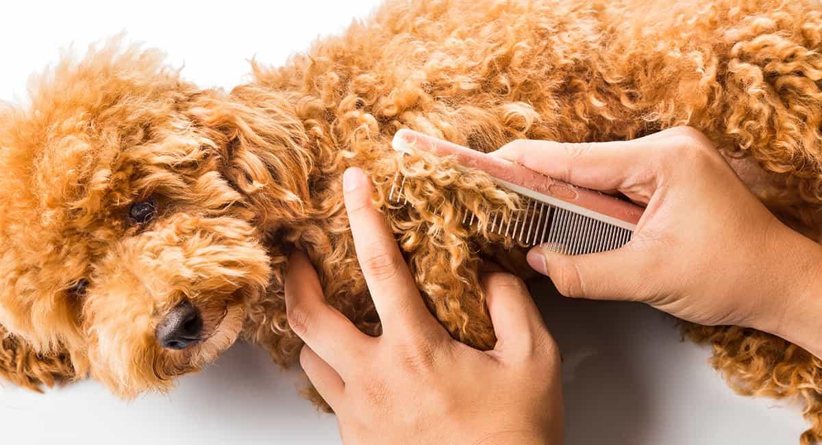 Thường xuyên cạo lông cho chó