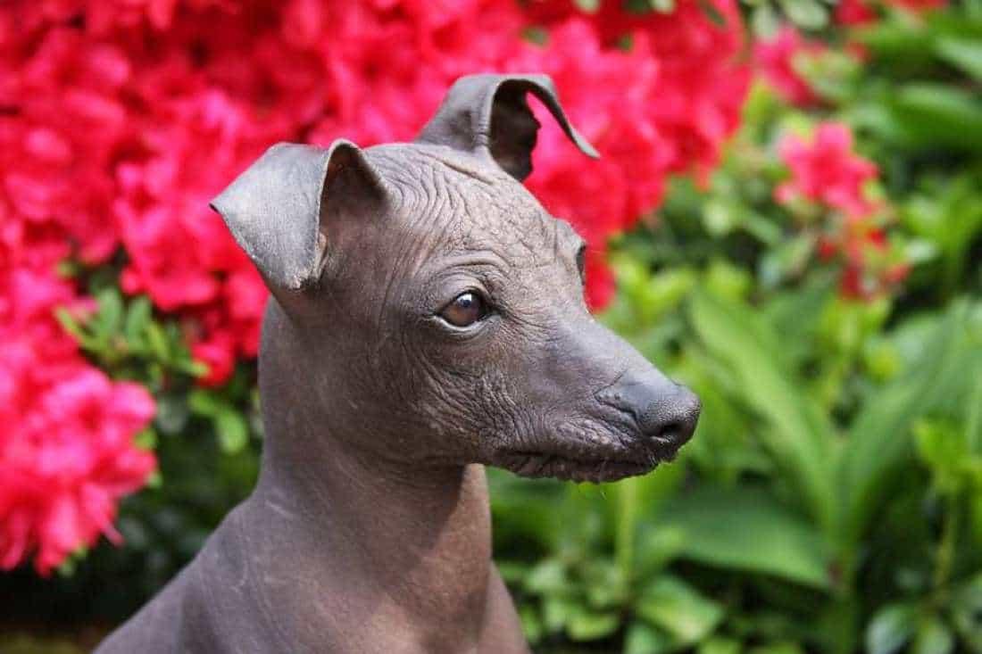 Tìm hiểu về những giống chó không lông