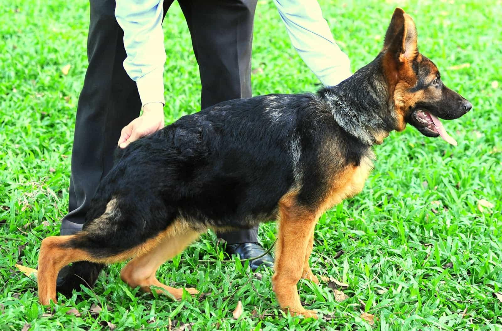 Trại chó Becgie Đức tại Việt Nam