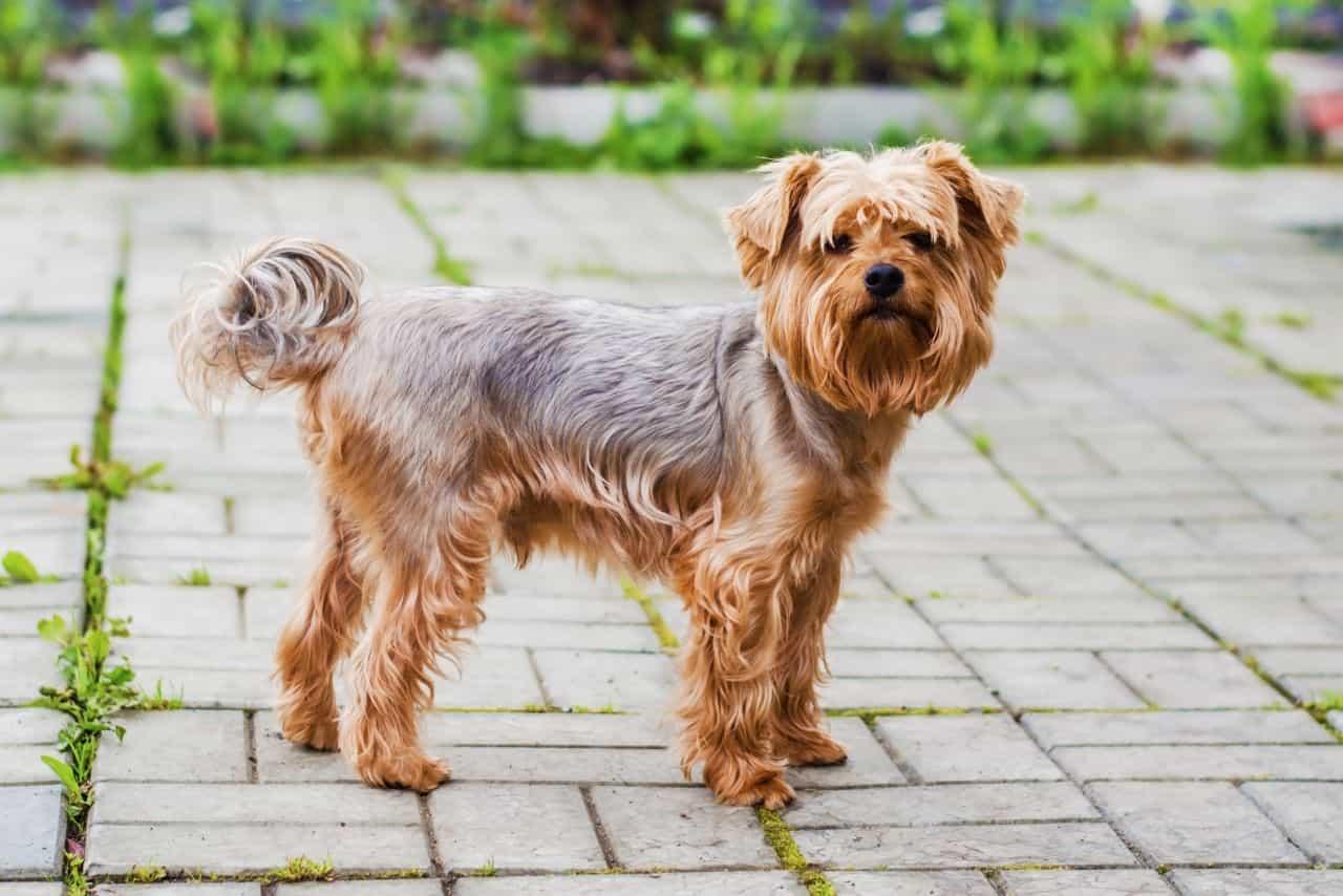 Yorkshire Terrier dễ thương